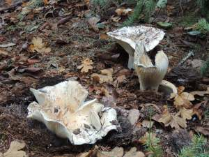 enormous mushrooms on the path to the house